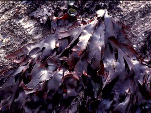 Dulse on a Rock