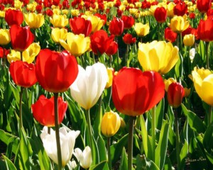 Truro Tulip Festival